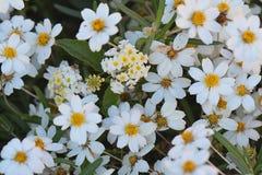 Garden daisies grown in backyard. Sunny white flowers -- daisies grown in backyard Stock Images