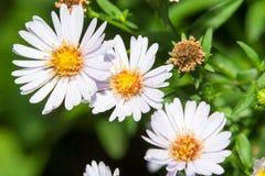 Garden daisy flower. Spring blossom background. Garden flower. Wild flower stock photography