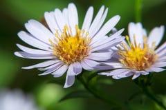 Garden flower. Garden daisy flower. Spring blossom background. Garden flower. Wild flower royalty free stock images