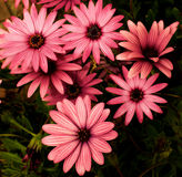 Garden Daisy Flowers Royalty Free Stock Photography