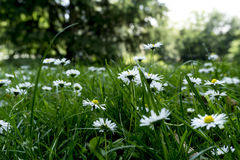 Garden Daisy. White flowers. Green garden with daisys Stock Images