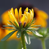 Garden daisy Royalty Free Stock Image