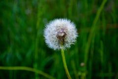 Garden dandelion in early May stock photos
