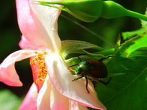 Pink RoseGarden dangers - Japanese Beetle on Rose petals. Bright beautiful sunlight reveals Japanese beetle attacking delicate white and pink rose in the garden Royalty Free Stock Image