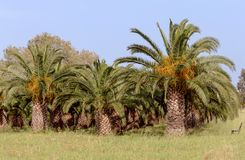 The garden of date palms. Garden from date palms on a spring sunny day Greece, island Crete royalty free stock images