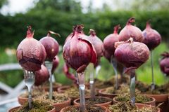 Garden decoration with onions. Garden ornament with forks and fresh onions Stock Photo