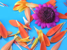 Garden delights. Photograph of a purple daisy and some very bright orange petals against a blue background Stock Image