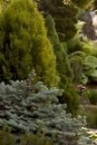 Garden design. Garden park spruce trees arborvitae juniper Royalty Free Stock Images