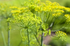 Garden Dill Royalty Free Stock Photography