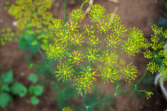 Garden Dill Umbrella Royalty Free Stock Image