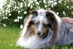 Garden Dog. Shetland sheepdog laying down in the garden with a rose bush in the background stock image