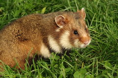 European hamster stock photography