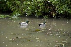 Garden duck pond Stock Photo