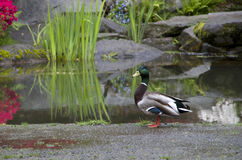 Garden duck pond Stock Image