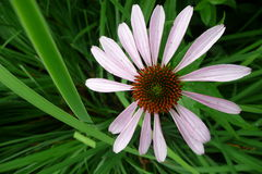 Garden: pink echinacea flower Royalty Free Stock Photography