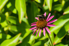 Garden with Echinacea flower and bumblebee Stock Photo