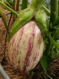 Garden eggplant Royalty Free Stock Photo