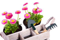 Garden equipment and Daisies Bellis Stock Image