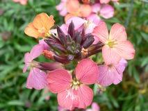 Garden erysimum. A single erysimum flower royalty free stock photos