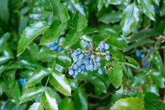 Garden evergreen bush with blue berries and green leaves Royalty Free Stock Photo