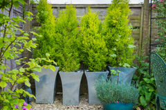 Garden with evergreen trees in containers. Royalty Free Stock Images