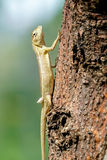 Garden Fence Lizard climbing up a tree Stock Images
