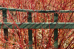 Garden fence and red-twig dogwood. Green garden fence runs through a stand of red-twig Dogwood in early spring Royalty Free Stock Photography