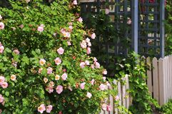Garden fence with roses. Garden fence with blooming roses and ivy Stock Photos