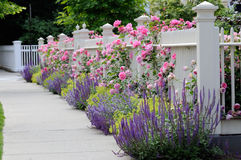 Garden Fence with Roses. White wooden fence with flowers. Pink roses, blue salvia, purple catmint, green and yellow lady's mantel. Very Colorful Stock Image