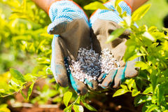 Garden fertilizer. On gardeners hands Royalty Free Stock Photo