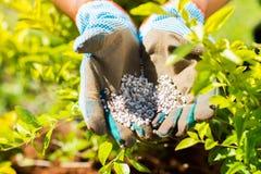 Garden fertilizer. On gardeners hands royalty free stock photo
