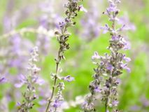 Garden field of lavender flowers royalty free stock image