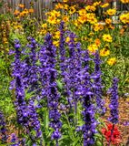 A riot of blue salvia and yellow coreopsis and cosmos. A garden filled with blue salvia, yellow coreopsis and yellow cosmos flowers Royalty Free Stock Photos