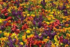 Colorful begonias, marigolds and pansies Royalty Free Stock Photos
