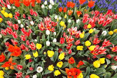 Garden filled with colorful tulips in springtime Royalty Free Stock Images