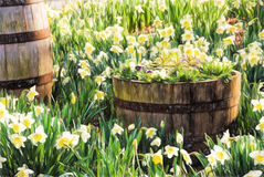 Garden Filled with Daffodil flowers and Wooden Barrels Royalty Free Stock Images