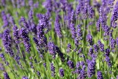 Garden with the flourishing lavender Royalty Free Stock Photos