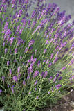 Garden with the flourishing lavender Royalty Free Stock Image