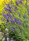 Garden with the flourishing lavender Stock Photo