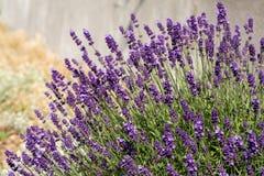 Garden with the flourishing lavender. Stock Photos