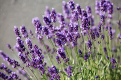 Garden with the flourishing lavender.  Royalty Free Stock Photos