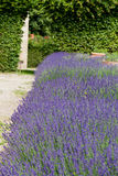 Garden with the flourishing lavender Royalty Free Stock Photos