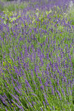 Garden with the flourishing lavender Royalty Free Stock Images