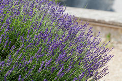 Garden with the flourishing lavender. In France Stock Photos