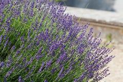 Garden with the flourishing lavender Stock Photos