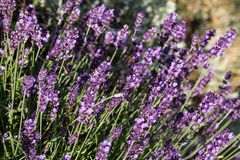 Garden with the flourishing lavender.  Royalty Free Stock Photography