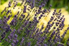Garden with the flourishing Lavender and Oregano Stock Image