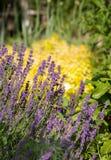 Garden with the flourishing Lavender and Oregano Royalty Free Stock Photos