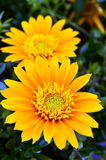 Garden flower. Yellow flower in garden . Nature ambient Royalty Free Stock Photo