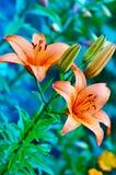 Garden flower Stock Photography